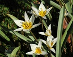 Tulipa turkestanica